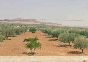 The countryside of Sidi Bouzid lined with olive trees and mountains in the distance.
